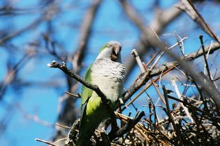 monk parakeet