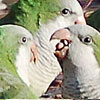 Monk Parrots in the Studio