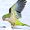 Bronx Wild Parrots Frolicking in the Snow