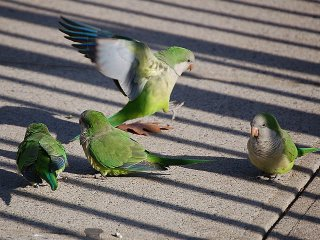 Monk parrots eating bird seed on Campus Road, Brooklyn, NY