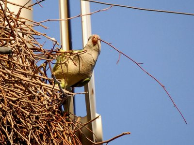A wild parrot struggles mightily with a thorny twig on a nest construction assignment