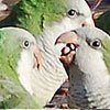 New Jersey Monk Parakeets conversing about the issues of the day