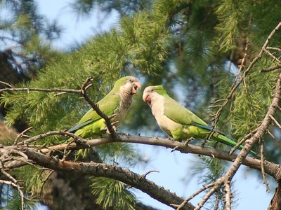 A pair of proud wild parrot parents watches their baby with pride