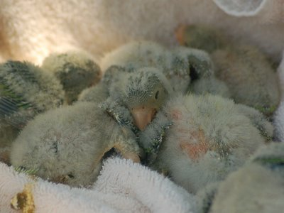 These young baby Quaker Parrots are only a few weeks old.
