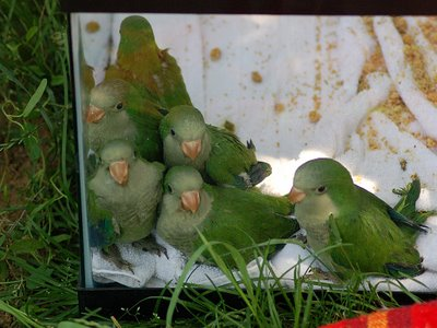Wild Baby Quaker Parrots Rescued from Throggs Neck Little League field, June 7, 2007