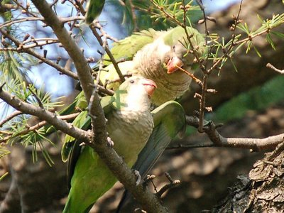 Mother parrot prepares to feed baby parrot via direct beak-to-beak nutrition transfer method