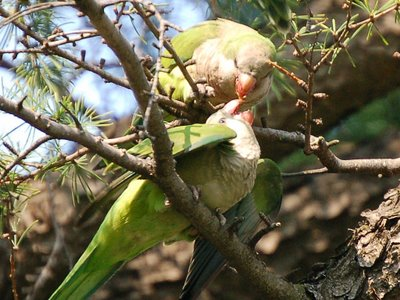 Mother quaker parrot effecting beak-to-beak nutrition transfer