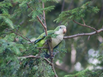 How do you spot a baby Quaker Parrot in the wild? Well, for starters, the shape of their beak is very different.
