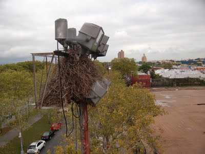 It took a lot of careful maneuvering to bring the crane close enough to the parrot nest to perform an inspection.