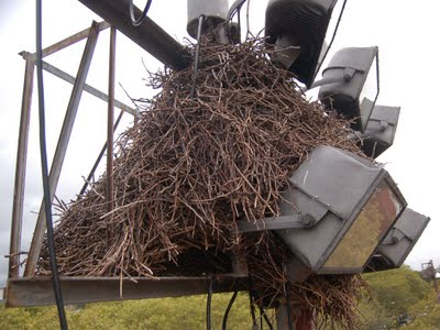 Take a LOOK at this magnificent wild parrot nest, which is the biggest and oldest in Bay Ridge. I really didn't want to disturb this formidable architecture, but I was obliged to explore it, to make sure no baby chicks were vulnerable to the imminent nest removals. This necessarily meant removing parts of it.