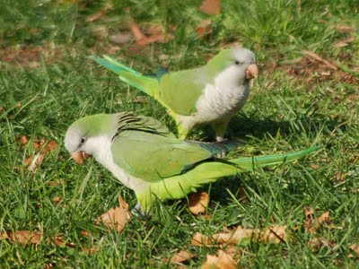 Two healthy looking Bay Ridge Parrots forage on 66th Street.
