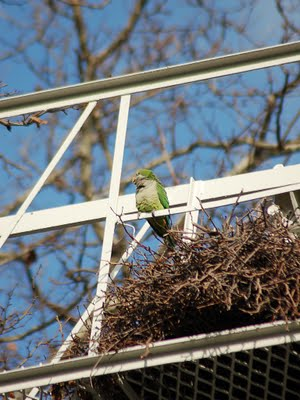 A wild parrot in Bay Ridge surveys takes a break from reconstructing his clan's huge communal nest. Photo by Stephen C. Baldwin