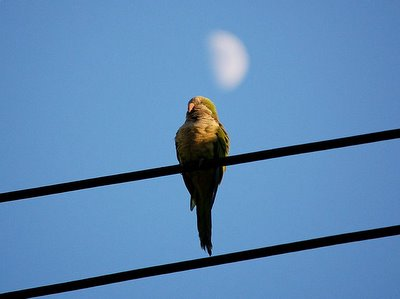 A wild Bay Ridge monk parrot on a power line watches the darkening sky