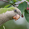 WCBS-TV: Wild Parrots Lay Claim To Brooklyn Neighborhood