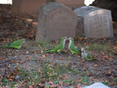 Wild Quaker Parrots at Brooklyn's Green-Wood Cemetery visit a nearby grave site