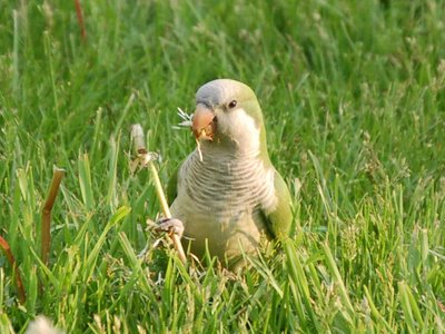 Like wild monk parrots living elsewhere in the U.S.A., the Chicago parrots love munching on dandelions.