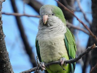 A wild Brooklyn quaker parrot in a tree, December 2005