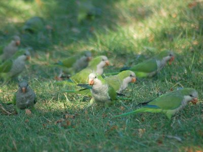 Wild Quaker parrots foraging for beechnuts at Brooklyn's Green-Wood Cemetery
