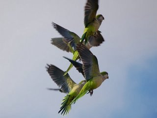 Four Brooklyn Parrots Soar Upward Above Campus Road