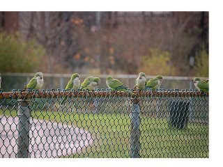 Brooklyn parrots gathering on a cyclone fence at Brooklyn College's athletic field
