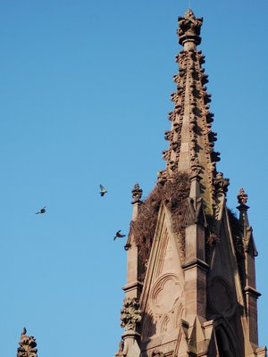 Wild Quaker Parrots are agitated by the presence of a crow at Green-Wood Cemetery's main gate.