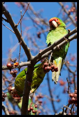 Wild Conures in Queens, New York, January, 2010. Photo by Dominika Gardocka.