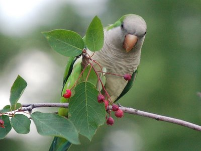 A wild monk parrot in the Bronx munches on a berry tree