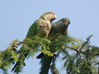 A mother parrot instructs her chick on the essential tactics of hawk and falcon evasion