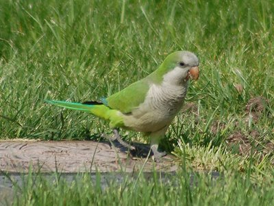 A Monk Parakeet on the grass, Green-Wood Cemetery