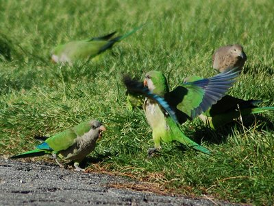Two monk parakeets have an argument in Green-Wood Cemetery