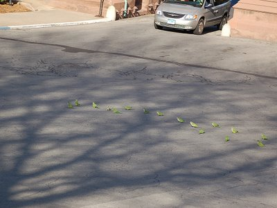 Marching Monk Parrots in Brooklyn, photo 3