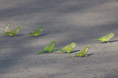 Marching Monk Parrots in Brooklyn, photo 5