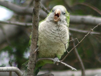 About Those Park Slope Parrots...