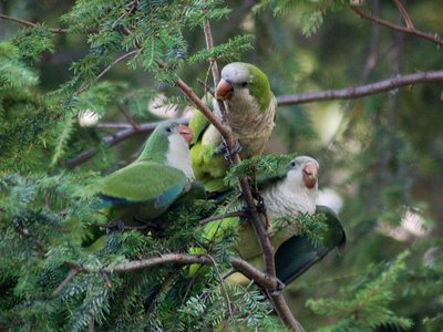 Mother Quaker Parrot prepares to allofeed two hungry babies. Photo 1 of 2.
