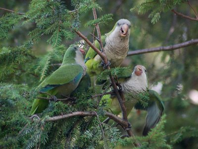 Mother Quaker Parrot prepares to allofeed two hungry babies. Photo 1 of 2