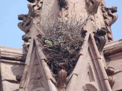 The parrots have already placed hundreds of sticks into position. These will be systematically clipped and shaped until a proper entrance portal can be fashioned.
