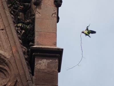 A parrot arrives at the main gate with a tremendous twig that will likely be laid in as part of the new nest's foundational substructure.