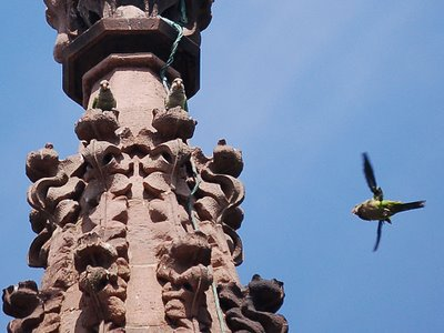 Monk Parrots perch on Greenwood Cemetery's Main Gate