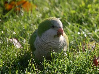 Monk Parrot foraging in the grass in Brooklyn