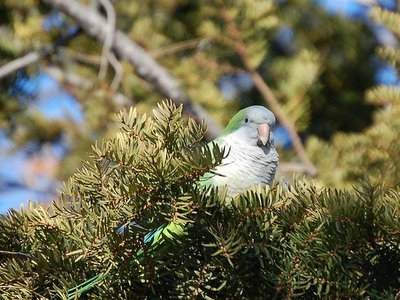 Wild monk parrot peeking out of pine tree Avenue I Brooklyn