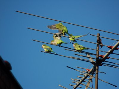 A group of wild Quaker Parrots in Bay Ridge Brooklyn gather on top of a television antenna