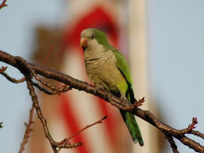 Brooklyn wild quaker parakeets enjoying leaf buds at Green-Wood Cemetery. Photo 2 of 9