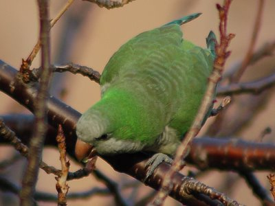 Brooklyn wild quaker parakeets enjoying leaf buds at Green-Wood Cemetery. Photo 3 of 9