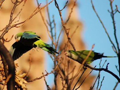 Brooklyn wild quaker parakeets enjoying leaf buds at Green-Wood Cemetery. Photo 5 of 9