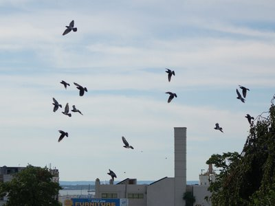 Pigeons scatter to ward off the hawk attack in Brooklyn's Greenwood Cemetery