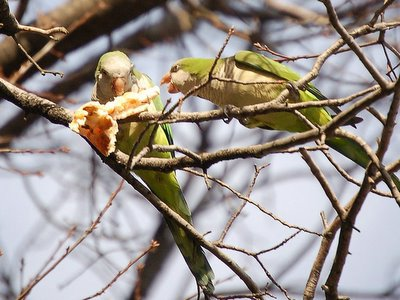Two wild quaker parakeets in Brooklyn share a pizza crust. January 21, 2006