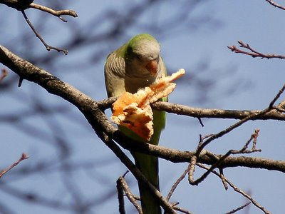 Two wild quaker parakeets in Brooklyn munch on a pizza crust. January 21, 2006