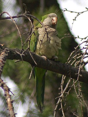A burly quaker parakeet sentinel ponders the response to the hawk attack in Brooklyn's Greenwood Cemetery