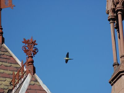 A wild Quaker Parrot soars over the main gate of Brooklyn's Green-Wood Cemetery