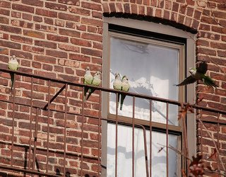 Monk parrots perched on fire escape, Brooklyn, NY